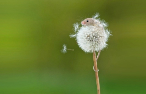 mouse-on-dandelion-scream-OMFG (1)