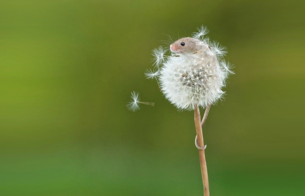 mouse-on-dandelion-scream-OMFG (1)