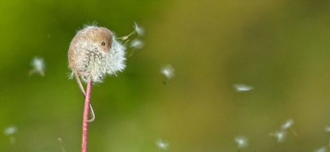 mouse-on-dandelion-scream-OMFG (2)