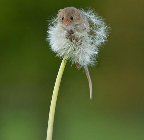 mouse-on-dandelion-scream-OMFG (3)